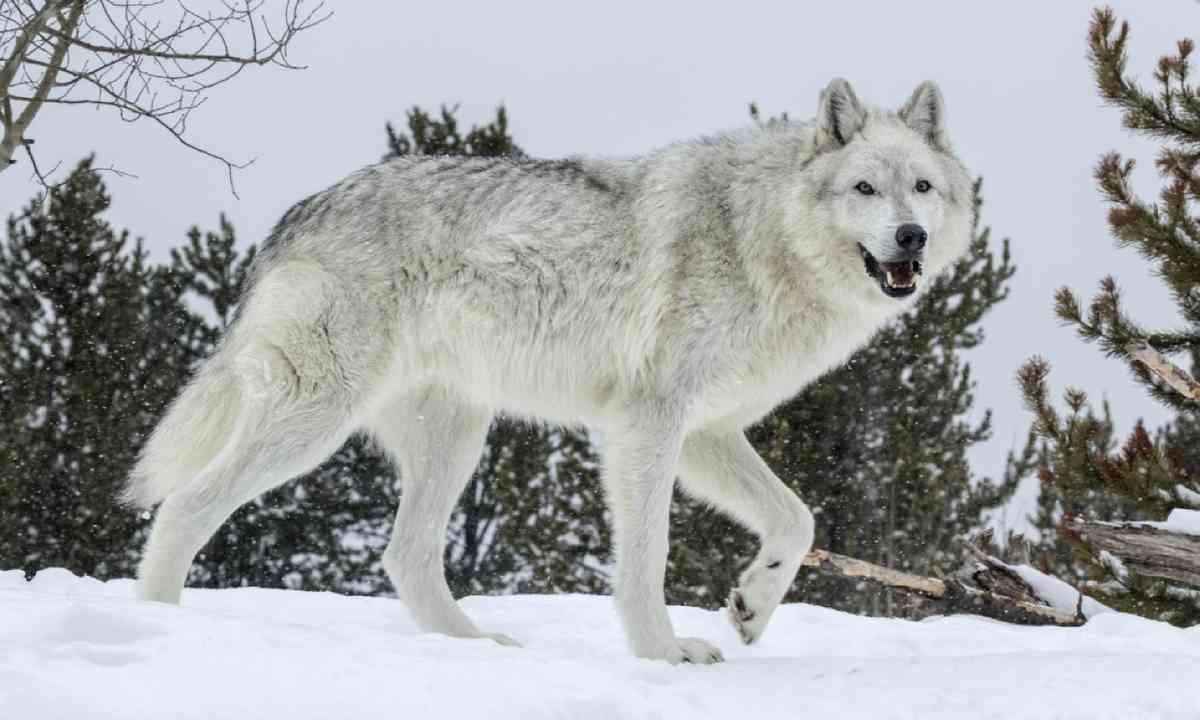 Wolf in Yellowstone (Shutterstock)