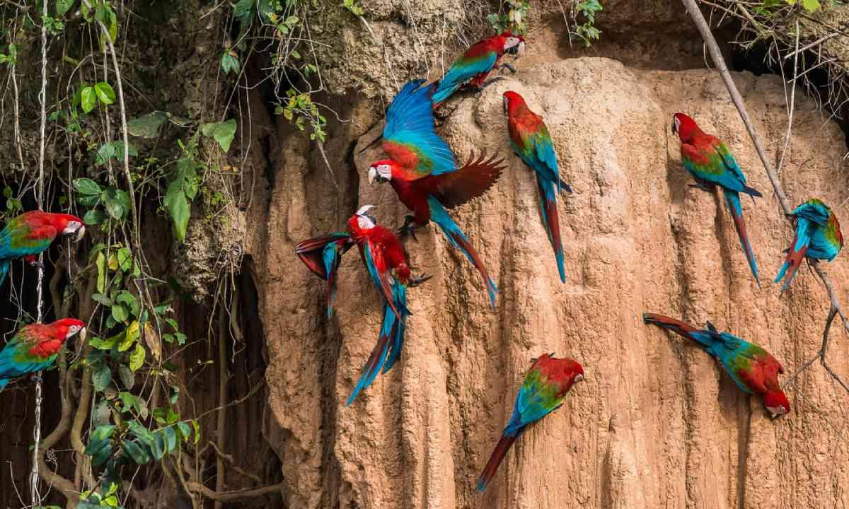 Macaws, Peru (Shutterstock)