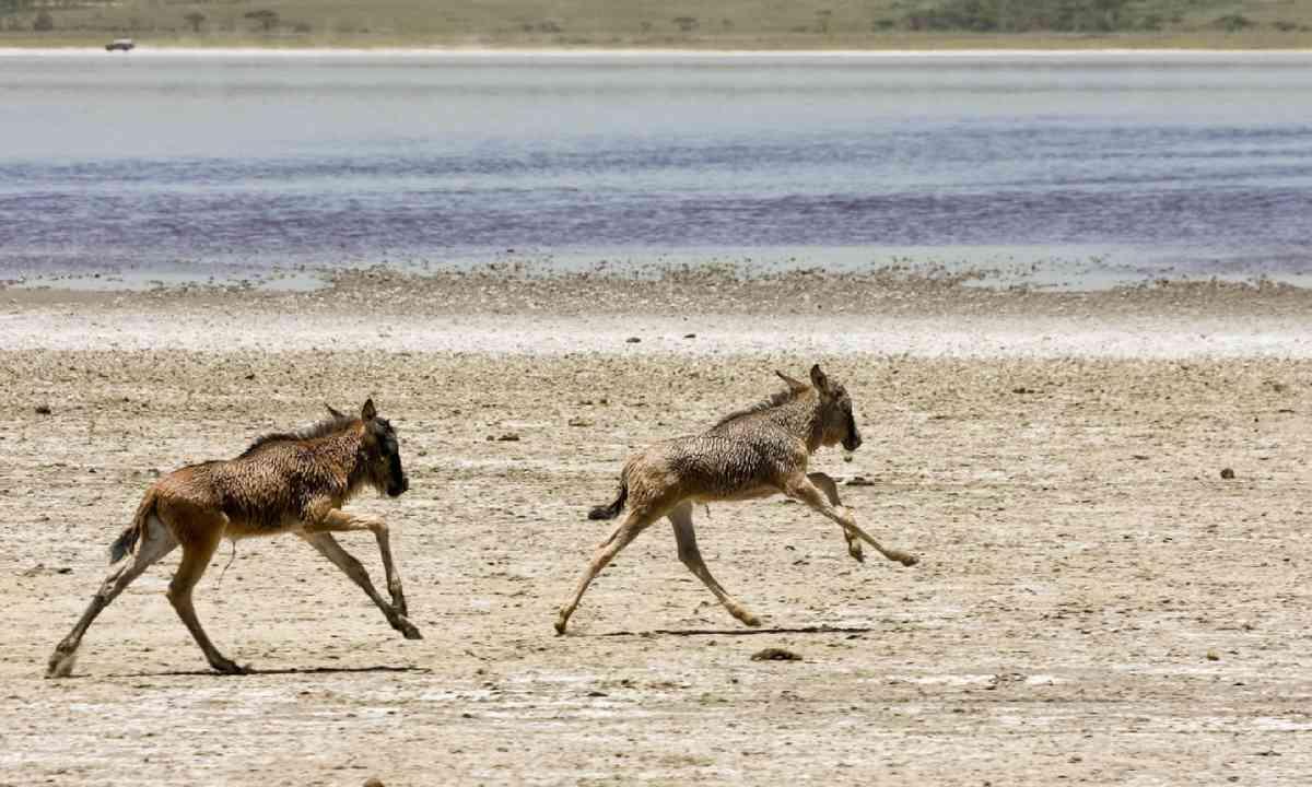 Wildebeest calves (Shutterstock)