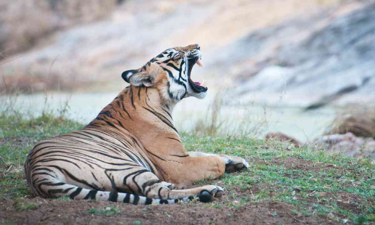 Tiger in India (Shutterstock)